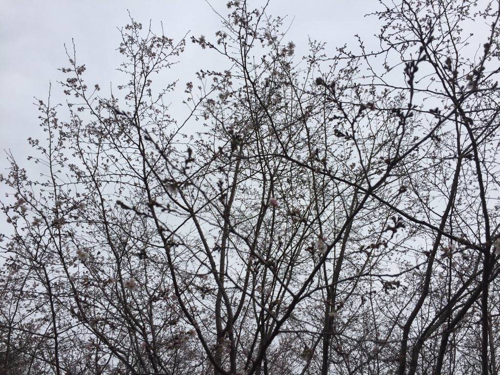 RT @davidfrum: Cherry blossoms in…