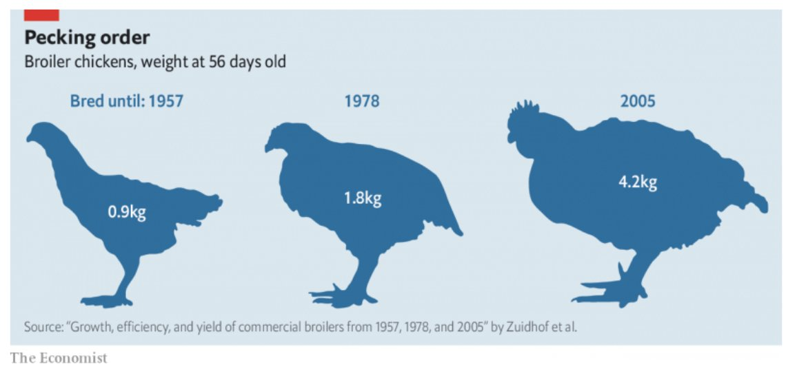 Today's factory farmed chickens are…