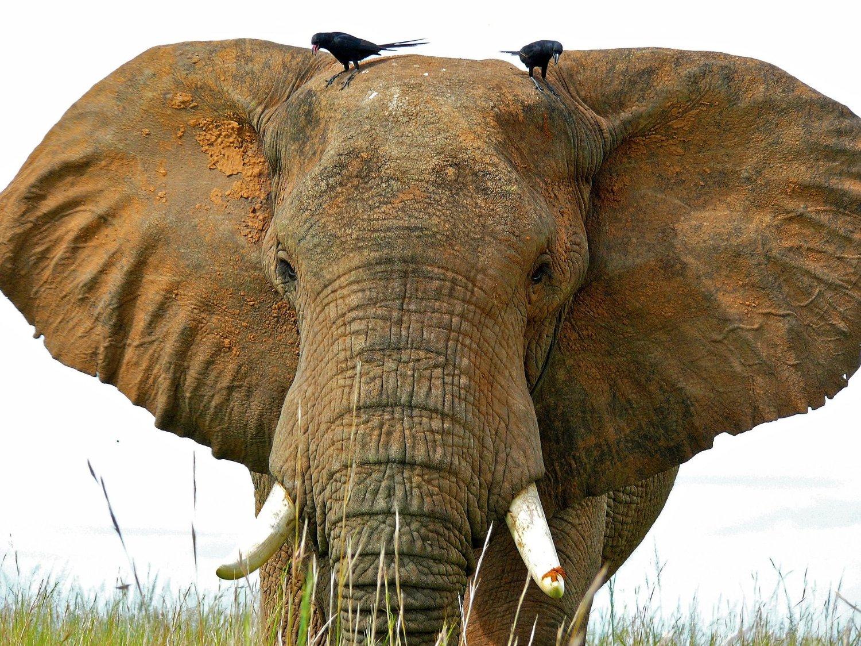 Population of African elephants around…