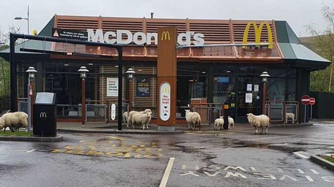 RT @ITVWales: Flock of sheep…